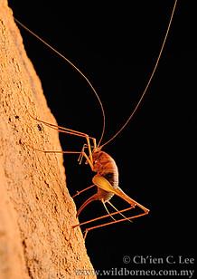 Cave Cricket (Diestrammena sp.)