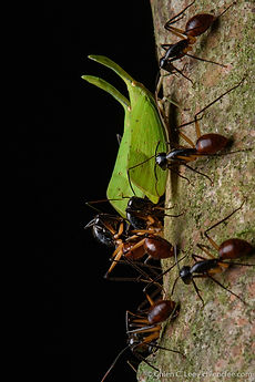 Giant Forest Ants (Camponotus gigas) and