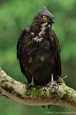 Bat Hawk (Macheiramphus alcinus)
