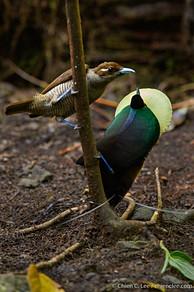 Magnificent Bird-of-paradise (Diphyllodes magnificus)