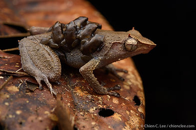 Horned Land Frog (Sphenophryne cornuta).