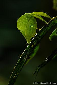 Leaf katydid (Eulophophyllum lobulatum)