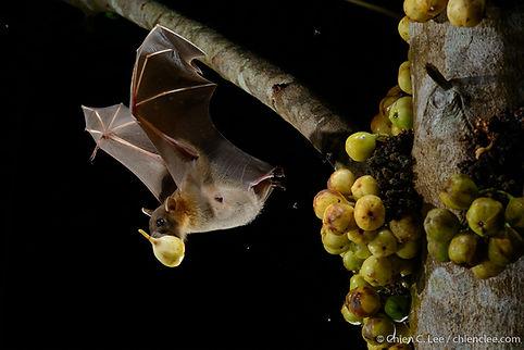 Short-nosed Fruit Bat (Cynopterus brachy