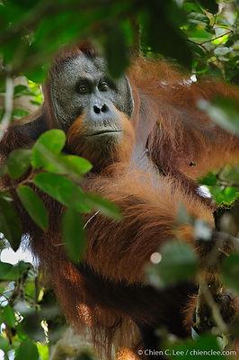Northwest Bornean Orangutan (Pongo pygma