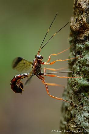 Ichneumon wasp, female laying eggs.jpg