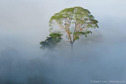 Emergent Tapang tree (Koompassia excelsa