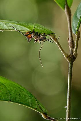 Golden Forest Ant (Polyrhachis ypsilon),