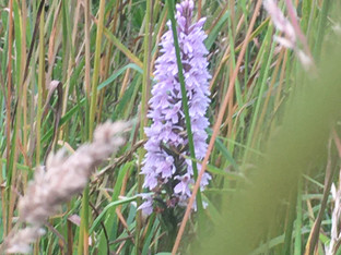 common spotted orchid pigneys.jpg