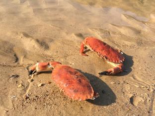 Overstrand Crabs.jpg