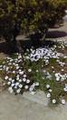 Cosmos pentru buchetul tau de mireasa ;) Astazi, in ultima zi de vacanta in Cipru, pierzandu-ne pe s
