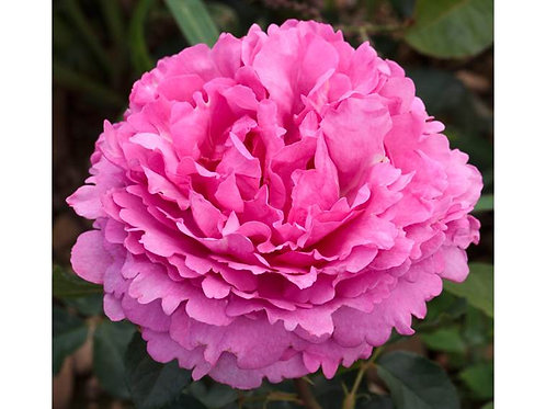 Meilland Roses