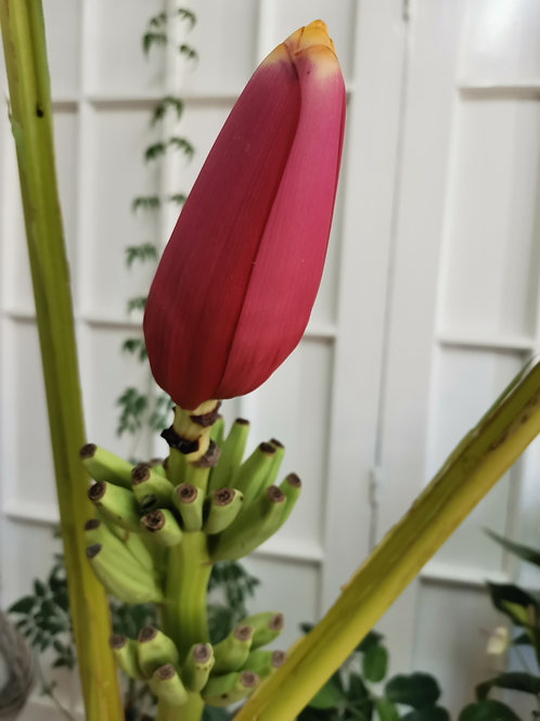 Floare de Banan