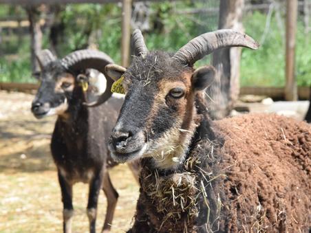 Tout savoir sur le Mouton Soay