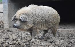 Cochon laineux / mangalitza