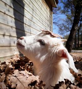 Yuki, chèvre naine