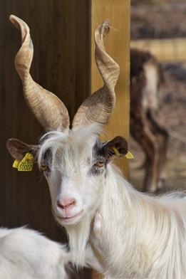 Chèvre Girgentane