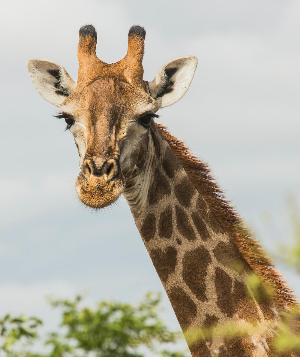 Giraffes have amazing lashes.