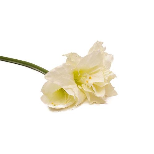 白色朱頂蘭