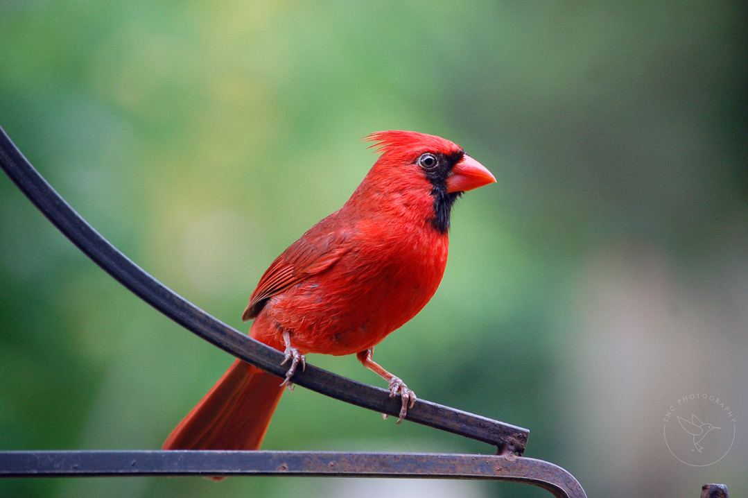 Male Cardinal - Full Color - with Logo.j
