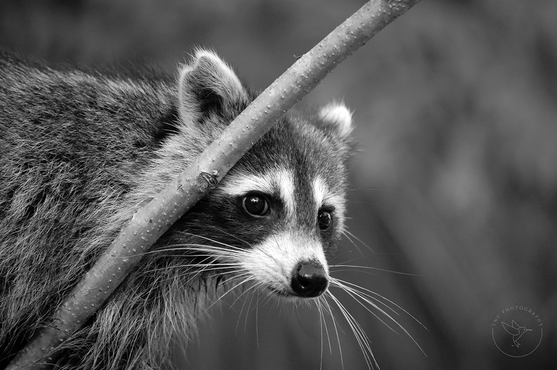 Peek a Boo Raccoon - BW - with Logo.jpg