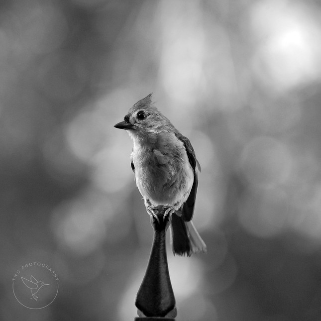 Tufted Titmouse - BW - Square - Logo.jpg