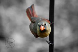 Female Cardinal 2020.05 BW Spot with Log
