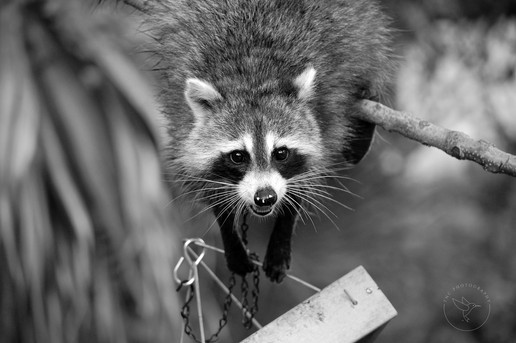 Cheese - Rocket Raccoon Smiling - BW wit