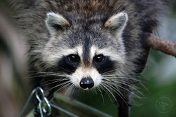 Hang in There - Raccoon - Color - with l