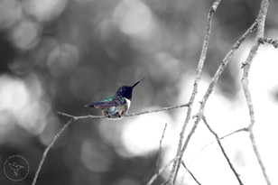 DSC_0260 copy Hummingbird branch spot wi