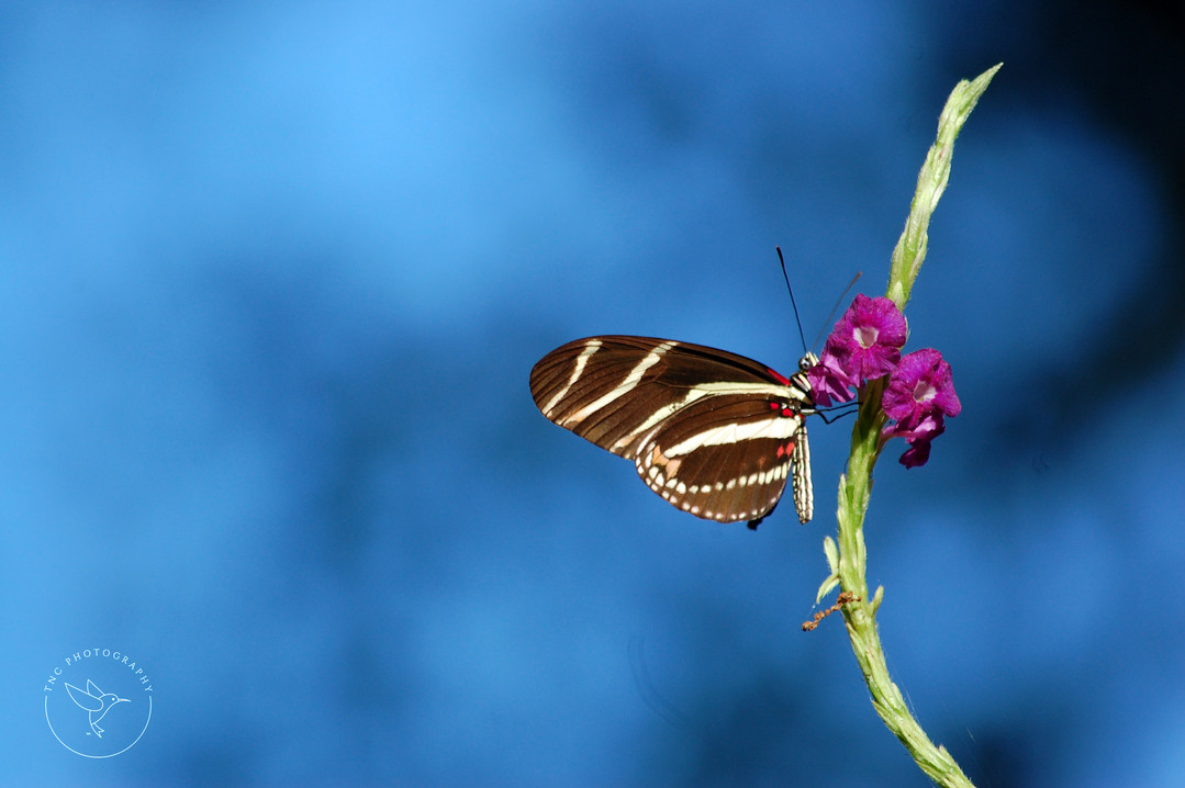 Zebra butterfly - color with logo.jpg