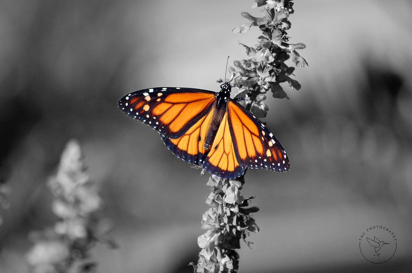 Monarch - Salvia - Spot with TNC Waterma
