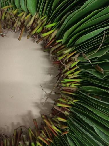 Jill OMeehan Gleditsia seed pods (9).jpg