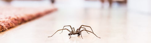 common-house-spider-on-the-floor-in-a-ho