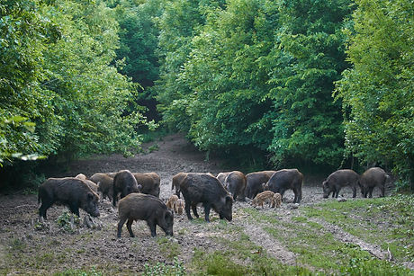 Herd of wild hogs rooting in the forest