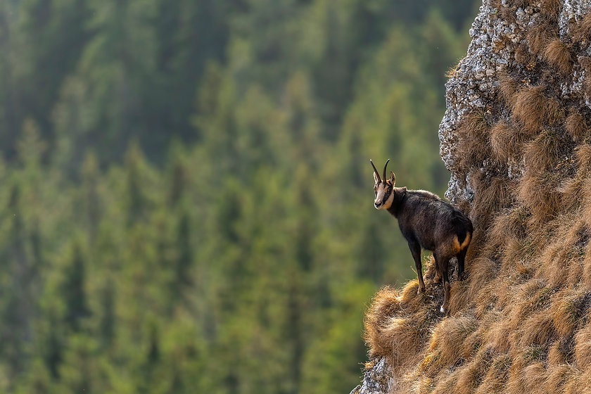 Chamois on the edge of a cliff with pine