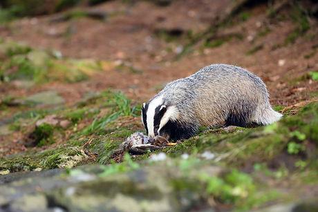 The European badger (Meles meles) also k