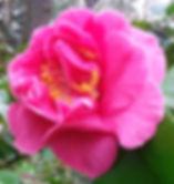 RoseFormDouble_ElizabethDowdRose-Grace.j