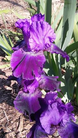Reverchon Iris