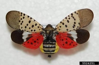 Spotted Lanternfly? In Michigan? It's more likely than you might think!