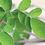 Thumbnail: Organic Moringa Leaves