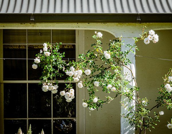 Roses on the Verandah