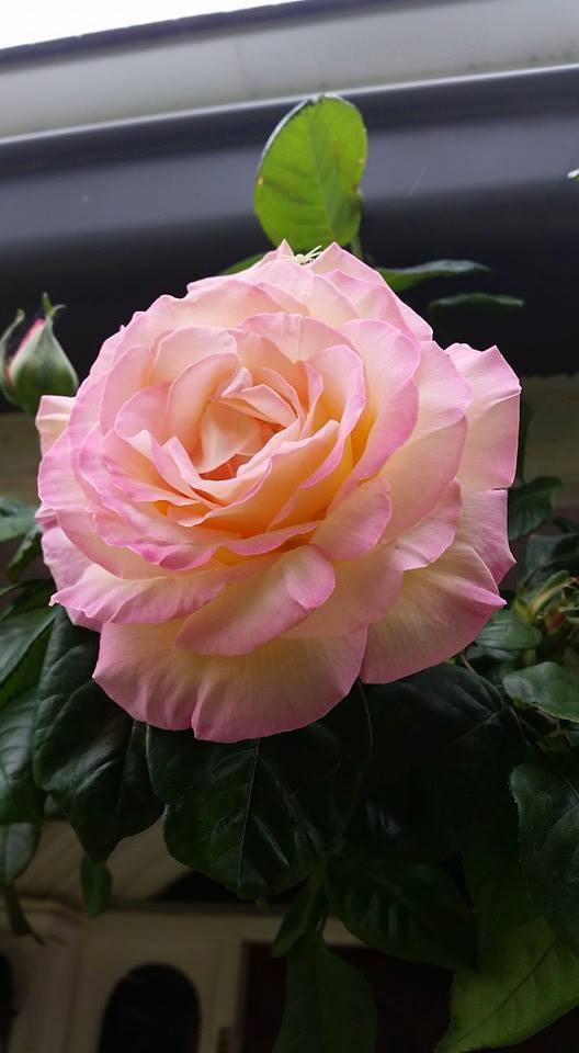 Rosa Peace Bloom