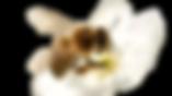 abeille-fleur-2-removebg-preview.png