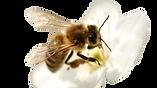 Abeille fleur ambroise savonnerie | savonnerie artisanale normandie | savon au miel