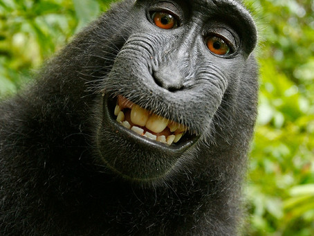 Copyright Law is no Monkey Business