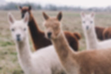 pack of Alpacas.jpg