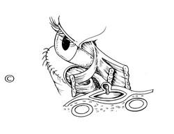 palpebral ligament - x3