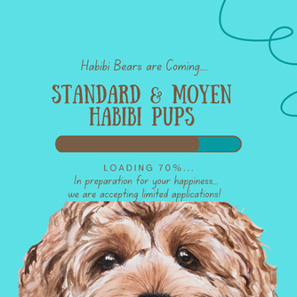 Updates from Habibi Land!  Waiting list open for Standard and Moyen puppies 🐶