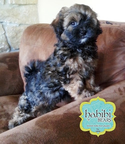 Brown Sable as pup