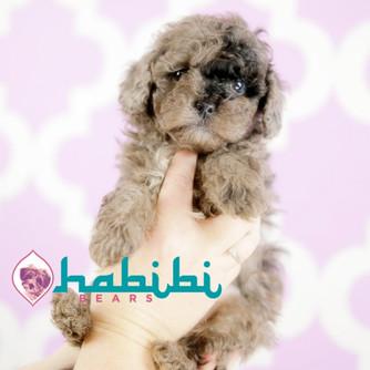 Habibi Puppies